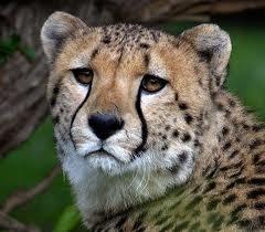 cheetah_face.jpg